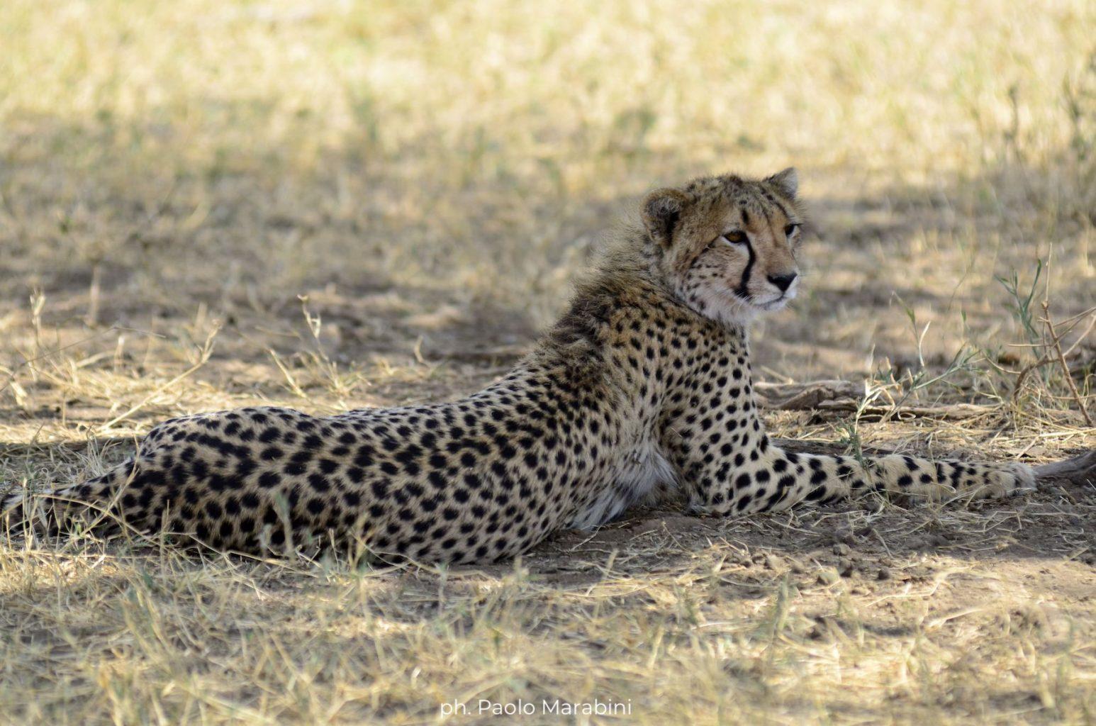 Tanzania - Serengeti - ghepardi a caccia