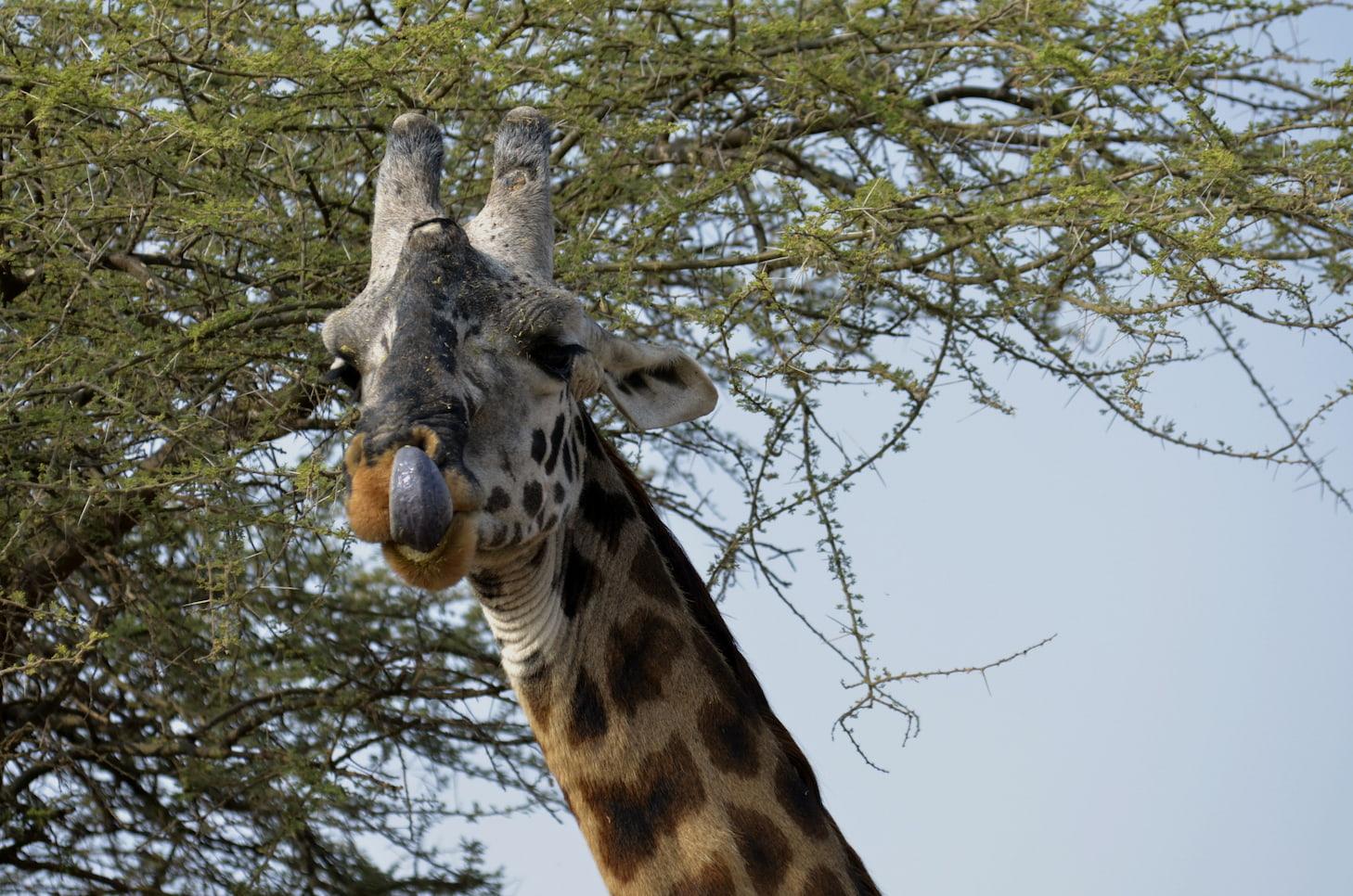 Foto Paolo Marabini (Tanzania - Serengeti)